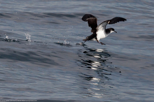Noordse Pijlstormvogel