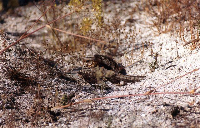 Moorse nachtzwaluw