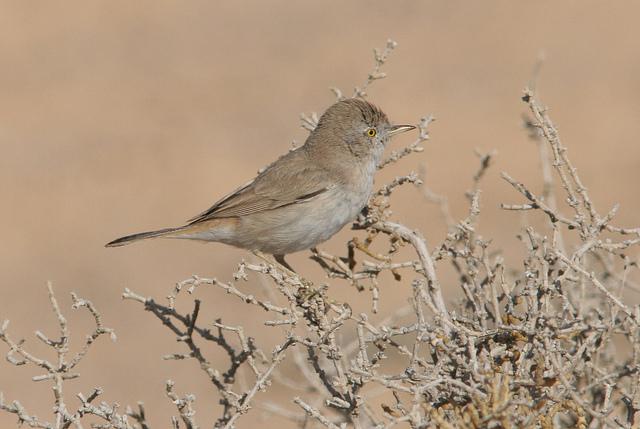 Woestijngrasmus