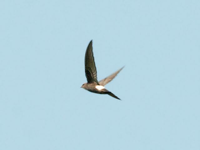 Siberische Gierzwaluw
