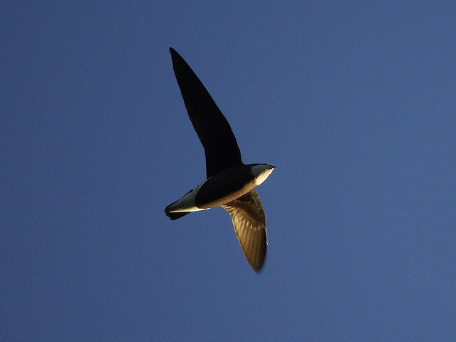 Stekelstaartgierzwaluw