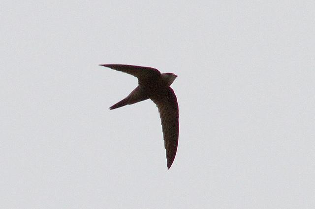 Vale Gierzwaluw